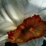 Dichternarzisse Narzissus poeticus 05