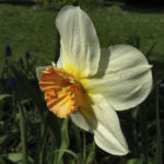 Dichternarzisse Narzissus poeticus 06