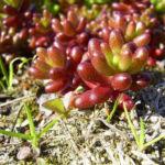 Bild:  Buckel-Fetthenne Sedum dasyphyllum
