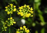 Dill Gurkenkraut Dolde gelb Anethum graveolens 03
