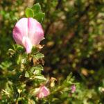 Dornige Hauhechel Bluete pink Ononis spinosa 01