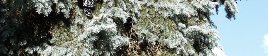 douglasie-zapfen-braun-nadel-blaugruen-pseudotsuga-menziesii