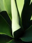 Drachenbaum Agave Blatt gruen Agave attenuata 09