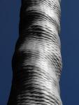 Drachenbaum Rinde silbern Dracaena draco 05