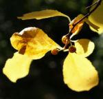 Dreilappiger Kokkelstrauch Frucht orange Cocculus trilobus 03