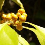 Dreilappiger Kokkelstrauch Frucht orange Cocculus trilobus 04
