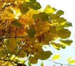 Dreilappiger Kokkelstrauch Frucht orange Cocculus trilobus 05