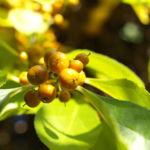 Dreilappiger Kokkelstrauch Frucht orange Cocculus trilobus 06