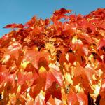 Dreispitzige Jungfernrebe Herbstblatt roetlich Parthenocissus tricuspidata 04