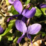 Duft Veilchen Wohlriechendes Veilchen Bluete blauviolett Viola odorata 02