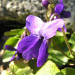Duft Veilchen Wohlriechendes Veilchen Bluete blauviolett Viola odorata 04