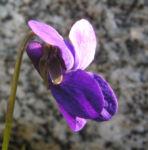 Duft Veilchen Wohlriechendes Veilchen Bluete blauviolett Viola odorata 05