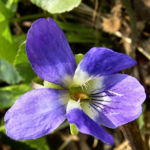 Duftveilchen Maerzveilchen Viola odorata 02