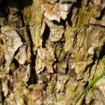 Dunkelroter Altai Apfel Baum Frucht Malus sieversii 05