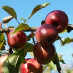 Dunkelroter Altai Apfel Baum Frucht Malus sieversii 06