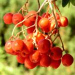 Eberesche Baum Frucht rot Sorbus aucuparia 02