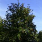 Eberesche Frucht Sorbus aucuparia 01