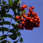 Eberesche Frucht Sorbus aucuparia 05