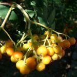 Eberesche Frucht Sorbus aucuparia 06