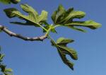 Echte Feige Baum Blatt gruen Rinde silber Frucht Ficus carica 01