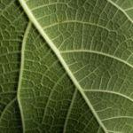 Echte Feige Baum Blatt gruen Rinde silber Frucht Ficus carica 04