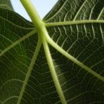 Echte Feige Baum Blatt gruen Rinde silber Frucht Ficus carica 05