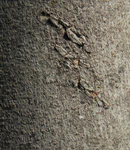 Echte Feige Baum Blatt gruen Rinde silber Frucht Ficus carica 09