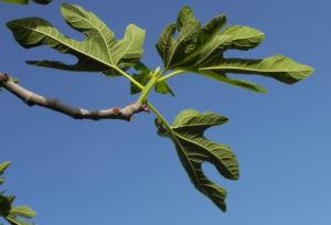 Echte Feige Baum Blatt gruen Ficus carica 01