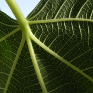 Echte Feige Baum Blatt gruen Ficus carica 05