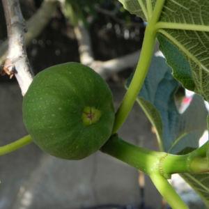 Echte Feige Baum Frucht gruen Ficus carica 09