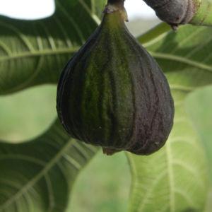 Echte Feige Baum Frucht gruen Ficus carica 10