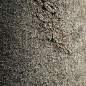 Echte Feige Baum Rinde grau Ficus carica 09
