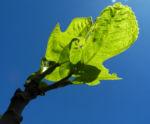 Echte Feigen Baum Blatt gruen Ficus carica 04