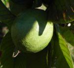 Echte Guave Baum Frucht gruen Psidium guajava 03