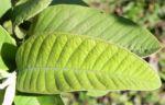 Echte Guave Baum Frucht gruen Psidium guajava 04