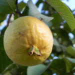Echte Guave Frucht gelb Psidium guajava