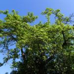 Echte Mispel Bluete weiss Blatt gruen Mespilus germanica 03
