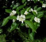 Echte Mispel Bluete weiss Blatt gruen Mespilus germanica 04