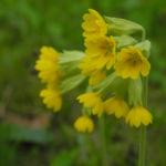 Echte Schluesselblume Bluete gelb Primula veris 04
