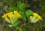 Echte Schluesselblume Bluete gelb Primula veris 07