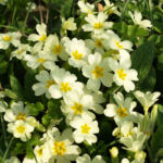 Echte Schluesselblume Bluete hellgelb Primula vulgaris 02