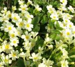 Echte Schluesselblume Bluete hellgelb Primula vulgaris 04