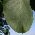 Echte Walnuss Baum Blatt Frucht gruen Juglans regia 02
