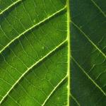 Echte Walnuss Baum Blatt Frucht gruen Juglans regia 04