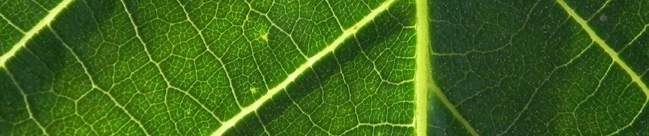 Anklicken um das ganze Bild zu sehen  Echte Walnuß Baum Rinde Frucht grün silber grau Juglans regia
