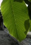Echte Walnuss Baum Blatt Frucht gruen Juglans regia 05
