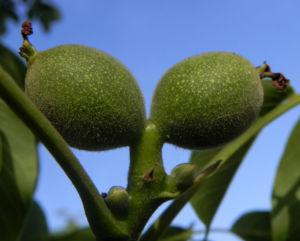 Echte Walnuss Baum Blatt Frucht gruen Juglans regia 07