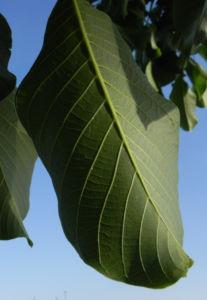 Echte Walnuss Baum Blatt Frucht gruen Juglans regia 08