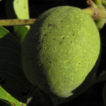 Bild:  Echte-Walnuss Blatt Frucht grün Juglans regia