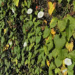 Echte Zaunwinde Blatt gruen Bluete weiss Convolvulus sepium 08